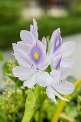 water hyacinth (Yunhyok Choi) Tags: pentaxk3 k3 korea pentax seoul asahi closeup flower macro macrophotograph waterhyacinth     kr