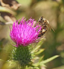 A honey bee working on a common thistle. (Bienenwabe) Tags: honeybee bee apis apismellifera apiaceae biene honigbiene commonthistle thistle cirsiumvulgare cirsium nature natur asteraceae pollen whitepollen
