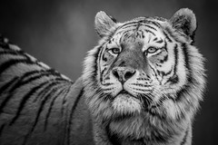 Mighty-Soul-Tim-Archer (Marwell Wildlife) Tags: marwell peoples choice 2016 photographer year wildlife vote