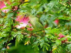 P1290368- Guit-guit saï femelle sur albizia saman (arbre à pluie) - Fortuna   17 mars 2016 (petite106) Tags: oiseau guitguitsaï albizia costarica guitguitsaïfemelle