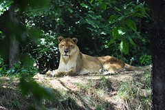 Summer days (morganyanez) Tags: lion cat animals zoo pretty fur summer 2016 nikon d7100 nature trees pittsburgh relaxing lioness