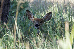 Fawn  In The Grass (dcstep) Tags: f4a7137dxo aurora colorado unitedstates us cherrycreekstatepark allrightsreserved copyright2016davidcstephens dxoopticspro111 whitetaildeer deer canon5dsr ef70200mmf4lis