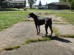 1474639791_2016_Sep_23_10-09-51_waterbottle072 (yclept8) Tags: doberman julie