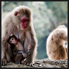 Mother and child- (Rob McC) Tags: ape monkey macaque japan child portrait fauna suckling baby