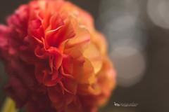 ranunculus velvet freelensed (The Gaggle Photography | Jessica Nelson) Tags: ranunculus velvet56 lensbaby lensbabyvelvet macro macroflowers freelensing freelensed flowers
