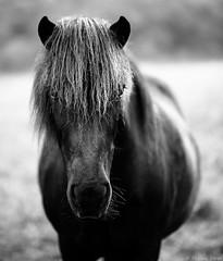 Cheval (Etienne Ehret) Tags: cheval horse blanc black bw noir noirblanc white animaux animals nikon bokeh d750 85mm f18