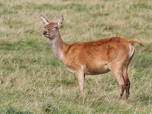 Red deer hind - Cervus elaphus