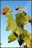 DSC01071 (AJP-Photos) Tags: automne rouge vin hermitage vignoble vigne raisin cepage vendages