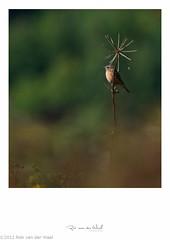 Enjoy the light (robvanderwaal) Tags: bird birds vogels vogel 2012 saxicolarubicola europeanstonechat roodborsttapuit rvdwaal robvanderwaalfotografienl