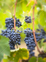 grapes on the vine from tuscany, italy (remafood8877) Tags: blue italy food sun plant tree green industry nature fruit vintage season botanical leaf vineyard juicy healthy berry colorful purple natural wine sweet eating decorative cluster farming seasonal harvest grow scenic vine sunny fresh winery climbing valley crop snack tuscany ingredients grapes bunch production taste growing organic agriculture grapevine ripe nutritious ripened