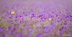 Standing out on the Purple carpet .. (J Anand) Tags: flowers purple flowerbed pune pp mws kaas valleyofflowers outdoorphotography aroundpune punephotographers photographerspune janand plateauofflowers anandjadhav andyjadhav wwwphotographersatpunecom janandphotography anandjadhavphotograhy