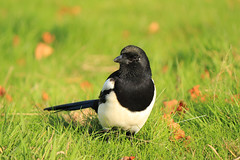 Pajarillo / Peckish Magpie (Desirée Soriano) Tags: ngc photographyforrecreation me2youphotographylevel1 freedomtosoarlevel1birdphotosonly freedomtosoarlevel2birdphotosonly freedomtosoarlevel3birdphotosonly freedomtosoarlevel4birdphotosonly freedomtosoarlevel3birdsonly freedomtosoarlevel2birdsonly freedomtosoarlevel4birdsonly freedomtosoarlevel3birsdonly