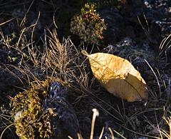 Eitt lauf (helga 105) Tags: leave iceland yello gulur lauf helga105