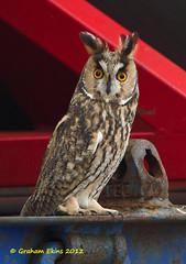 "Long-eared Owl, Asio otus (Graham Ekins) Tags: germany unitedkingdom longearedowl cuxhaven immingham asiootus landwursten marinelifesurvey canon1dmkiv grahamekins ""canon400mmisaflens"" cetaceansurvey seabirdsurvey visiblemigration dfdsclipperpoint seamammalsurvey"