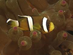 Clark from HK (MerMate) Tags: canon hongkong underwater associates diving powershot anemone anemonefish g12 cnidarians  basaltisland wpdc34