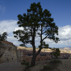 Pine on Bryce Rim Trail (rschnaible) Tags: park blue red sky usa southwest west rock landscape utah us day desert cloudy scenic scene canyon national western bryce canyons