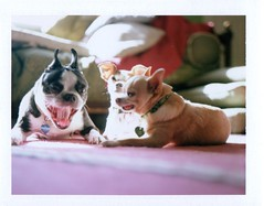 saturday morning dogs (EllenJo) Tags: pets chihuahua home dogs polaroid october yawn sunny livingroom hazel floyd 2012 saturdaymorning landcamera polaroidlandcamera chihuahuamix october27 fujifp100c fujiinstantfilm ellenjo ellenjoroberts ivanbostonterrier polaroidpathfinder rollfilmcameraconvertedtopackfilm convertedpathfinder