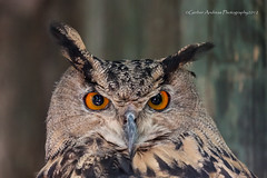 Gufo Reale Parco le cornelle (Andreas Gerber) Tags: park italy parco bird nature animal canon eos flickr italia natur natura andreas 100mm le 400 owl 100 animali 100400mm reale gerber 400mm canonefs1022mmf3545usm gufo 50d explored cornelle canoneos50d