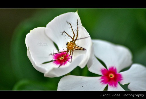Spider in the flower