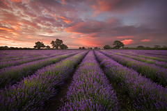 Lavender at Faulkland (GrahamMcPherson) Tags: landscape dawn somerset explore nationaltheatre takeaview grahammcpherson lpoty lavenderatfaulkland