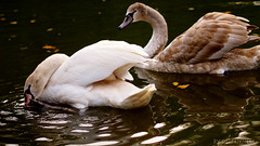 two young swans (olipennell) Tags: lake bird animal see swan herbst schwan tier heilbronn wasservogel pfuhlpark pfuhlsee