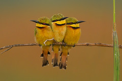 Three of a kind (hvhe1) Tags: africa bird nature animal three wildlife threesome vogel thegambia threeofakind littlebeeeater meropspusillus bijeneter marakissa pusillus specanimal hvhe1 avianexcellence