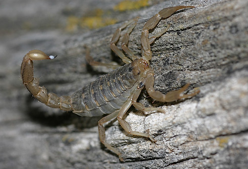 Stripe-tailed Scorpion (Hoffmannius spinigerus)