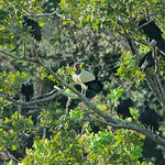 King Vulture (Sarcoramphus papa) & American Black Vultures (Coragyps atratus brasiliensis) thumbnail