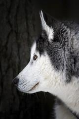 Poivre et Sel (Renald Bourque) Tags: winter dog chien snow canada cold nature beauty animal canon flickr quebec wildlife beauté québec animaux mfcc xti lefion lefïon