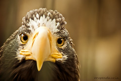 Angry bird (@) Tags: bird eyes eagle ab vulture 70300mm yelloweyes seoulgrandpark yellowbeak angrybirds lookingangry nikond3000 arupenducoin