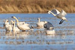 The Wild Life 8 (California Rice Commission) Tags: bird wildlife nelson crc tundraswan wintermigration