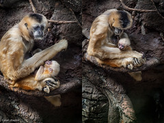 Baby White Cheeked Gibbon Explored #61 1/11/13 (alan shapiro photography) Tags: white nature animal animals monkey wildlife primate primates gibbon whitecheekedgibbon cheeked alanshapiro ashapiro515