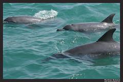 wild dolphin bottlenose britch