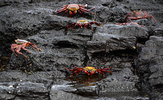 Galapagos - Panga ride - Sally Lightfoot Crabs (sweetpeapolly2012) Tags: