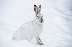 Jackrabbit Snow