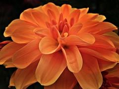 Dahlie (fleckchen) Tags: dahlia flowers sommer natur blooms blume garten blten dahlie dahlien dahlienblten flowerthequietbeauty