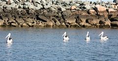 seagulls pelicans birds seagull gull gulls pelican meeuw meeuwen seabirds pelikaan zeemeeuw