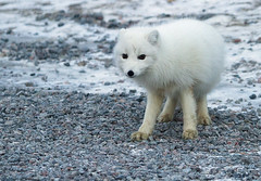 White fox (Petur Bjarni) Tags: white animal greenland fox dr refur grnland pakitsoq