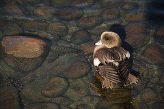 Duck on the rocks! (Alexandra Rudge. Thanks for 257.000 + visits!) Tags: water canon duck agua wildlife ducks aves ave pato anas animalia refections reflejos patos wildanimals americanwigeon waterreflections wildduck wildbirds anatidae anseriformes anasamericana reflejosenelagua baldpate americanwidgeon mareca wildducks chordata anatinae vidasilvestre californiabirds vidaanimal vidasalvaje patosalvaje californiawildlife patossalvajes southerncaliforniabirds losangeleswildlife animalessilvestres californiafauna southerncaliforniawildlife pajarossilvestres alexandrarudge californiawildbirds pajarosdecalifornia pajaroscalifornianos vidaanimalpajarossalvajes pajarosdenorteamerica faunadenorteamerica avesdenorteamerica southerncaliforniawildbirds southerncaliforniafauna pajarossalvajesnorteanericanos wildlifeofcalifornia lawildlife
