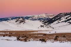 Elk Below the Sleeping Indian (Free Roaming Photography) Tags: winter sunset usa mountain snow mountains cold west animals cow frozen twilight butte adult dusk eating wildlife eat northamerica wyoming females elk mammals herd grazing jacksonhole graze sheepmountain earthsshadow nationalelkrefuge flatcreek sleepingindian millerbutte