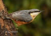 Nuthatch (Nigel Dell) Tags: winter birds fcc flickr wildlife places hampshire fleet nuthatch fsg avianexcellence ngdphotos