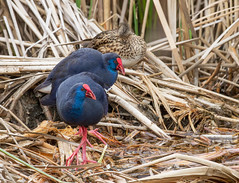 _MG_0179 Purple Swamphen (Porphyrio porphyrio), Qinta do Lago, Portugal, January 2013 (Lathers) Tags: portugal algarve purpleswamphen porphyrioporphyrio quintadolago canon7d canonef500f4lisusm 13january2013