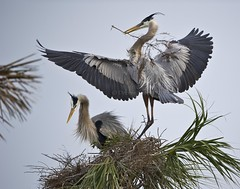 Togetherness (MommaD photos) Tags: family wild usa motion building love home nature birds fun outdoors hope togetherness construction community nikon couple natural nest florida action wildlife pair joy performance feathers happiness pride romance celebration wetlands passion sharing mating northamerica environment motivation inspirational awe excitement habitat majestic success attentive strategy assistance greatblueheron onthemove perfection avian bonding herons patience mobility nesting cooperation beginnings teamwork skill elegance nestbuilding compassionate courtship gbh accommodating vierawetlands greatblues tnwaphotography