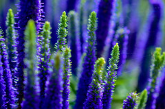Lupine and Web (BOlson Photography) Tags: flowers blue plants spider purple web lupine