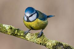 _DSC7666.jpg (LAWilkinson) Tags: blue snow bird robin speed nikon long branch tit 14 great fast dunnock sparrow shutter 300 coal f4 teleconverter tailed d800