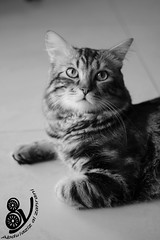 (Abdulaziz_Alzahrani) Tags: pet cat nice good taz
