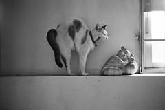* (Sakulchai Sikitikul) Tags: leica bw film cat kodak bessa trix ernst snap summicron 400 f2 wetzlar leitz collapsible 5cm r2a thecatwhoturnedonandoff ldlnoir