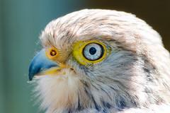 Greater Kestrel (marccrowther) Tags: bird nikon greater kestrel birdofprey d3200 15challengeswinner favescontesttopseed favescontestfavored nikon55300mmf4556 nikon55300mmf4556gvr