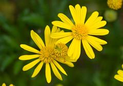 DSC_7652b (aeschylus18917) Tags: flower macro nature yellow japan tokyo nikon g micro daisy   nikkor  f28 vr 105mm 105mmf28 105mmf28gvrmicro d700 nikkor105mmf28gvrmicro  nikond700 danielruyle aeschylus18917 danruyle druyle