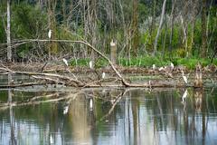 _DSC6534 Egret Roost (Charles Bonham) Tags: greategret midlandmi bird waterbird swamp wetlands trees deadtrees water brush nature white sonya7r sonyfe70200f4goss charlesbonhamphotography